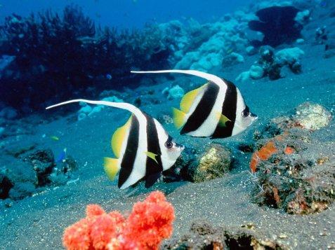 Schooling_bannerfish